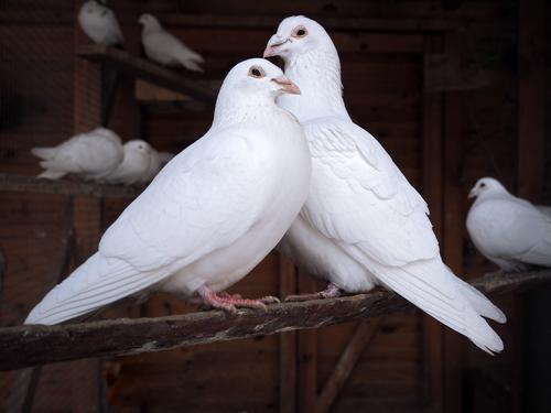復縁できる白い鳩の待ち受け画像