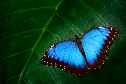 ユリシス蝶