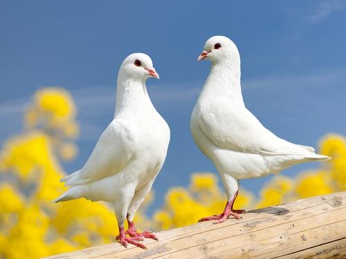 二羽並ぶ白い鳩