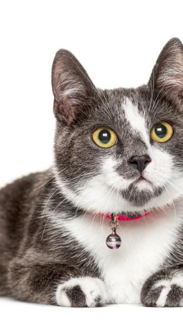 赤い首輪の猫の画像