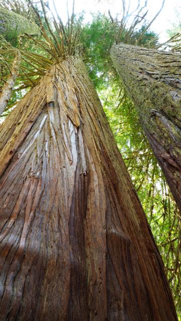 千年杉の画像